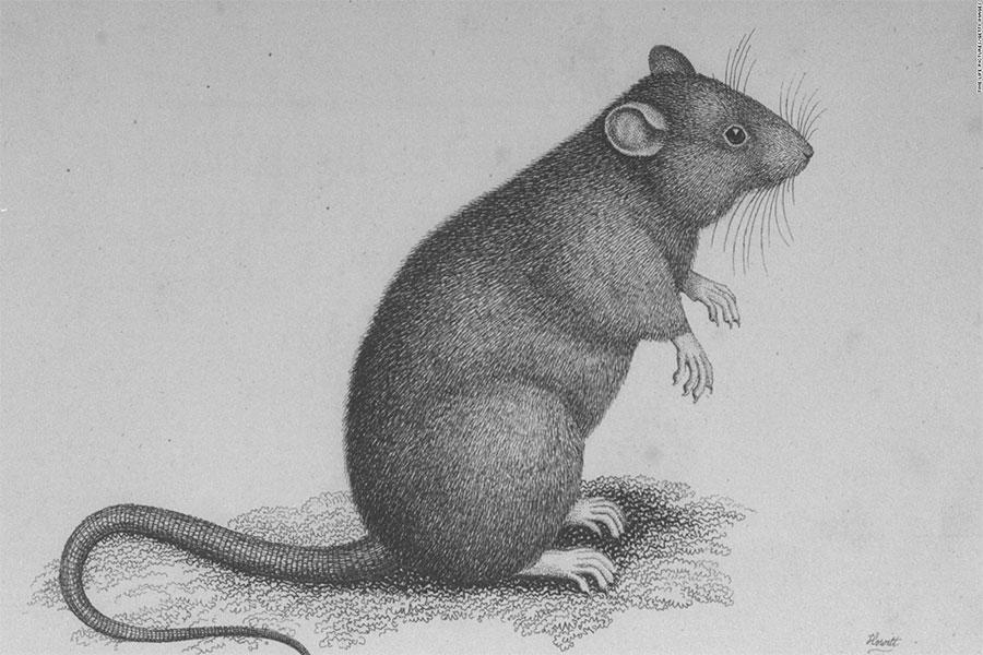 Kara veba, hastalığının yayılmasında fareler büyük etken olmuştur.